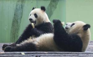 """成都来沪大熊猫""""二愣子""""组合即将会客:星二头大、雅二鼻短"""