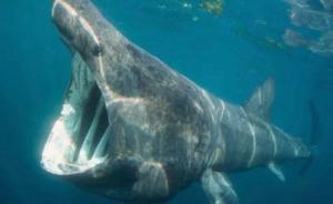 死亡姥鲨被江苏渔民10多万元转卖,十年前已按保护动物管理