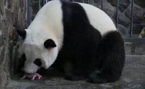 """大熊猫""""爱浜""""新生幼仔出生4天后猝死,生产过程曾全球直播"""