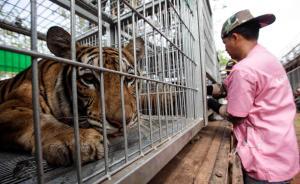 """据泰国媒体5月31日报道,泰国国家公园及动植物保护厅30日派近千名泰国军人、警员、兽医和动植物公园厅的工作人员,以保护老虎为由,强行将北碧府""""老虎庙""""私养的10只老虎转移至叻丕府动物繁殖中心。 视觉中国"""