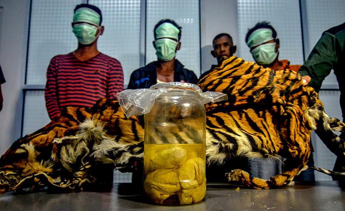 早安·世界|印尼三男子兜售蘇門答臘虎皮與虎胎被捕