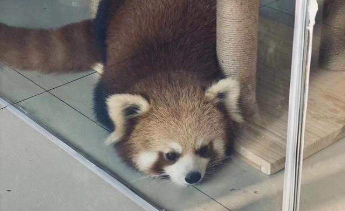 重庆一咖啡馆疑饲养小熊猫,国家林草局责成当地林业部门调查