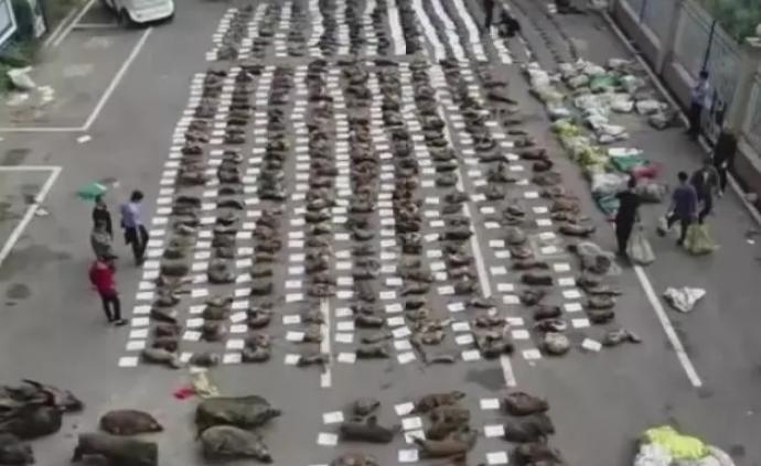 湖南破获非法经营野生动物案,查获蛇、豹猫、野猪等2万多斤