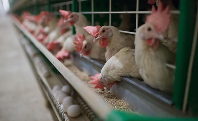 沙特发现H5N8型禽流感疫情,事发地近40万只禽鸟被扑杀