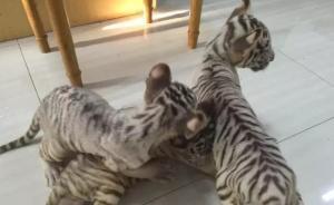 江苏一司机涉嫌非法运输三只小白虎,自称运的是波斯猫