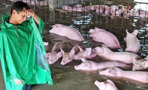抢救安徽舒城六千头猪:部分已被淹死,政府正组织转运救援