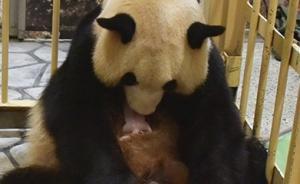 """旅日大熊猫""""良浜""""产下一只大熊猫宝宝,已有四次生产经验"""