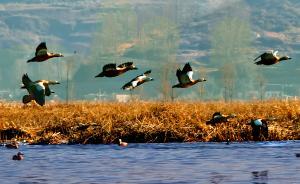 谁来保护野鸟:上海青浦区仅1名专职政府人员,捕鸟网随意买