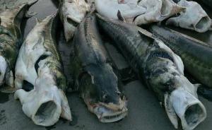 万吨鲟鱼逃逸调查:预警时间、流量与调度有不符,谁做错了?