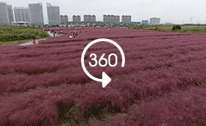 360°全景|上海初秋的粉黛乱子草,粉成一片萌化谁的心?