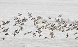 上海迎来候鸟迁徙高峰,林业公安等部门联合执法打击非法捕猎
