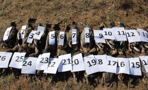内蒙古官方回应天鹅死亡事件:发现候鸟死体259只,将严查