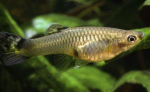 """抗蚊""""斗士""""或存威胁,生态学家对释放孔雀鱼灭蚊虫提出警告"""