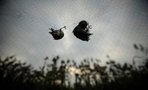 拆网行动|志愿者在天津又发现八百米鸟网,用驯化鸟诱捕野鸟