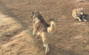 德州动物园狼舍现受伤哈士奇,园方:被刮伤,它在狼群有地位