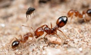 红火蚁袭营区致官兵休克,广州市园林局组织专业人员灭杀蚁巢