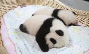 上海首对大熊猫龙凤胎双满月开始征名,即日起轮流与游客见面
