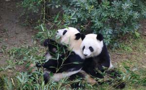 """12月6日,四川省成都市成都大熊猫繁育研究基地内,大熊猫""""美轮""""(右)""""美奂""""相拥而坐。这是居美大熊猫""""美轮""""、""""美奂""""回国后的首次全球亮相。""""美轮""""和""""美奂""""是旅美大熊猫""""伦伦""""于2013年7月15日生下的一对雌性双胞胎,姐妹俩是美国境内出生并存活的首对大熊猫双胞胎宝宝。  成都商报 王勤/视觉中国 图"""