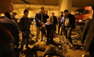 野猪闯入合肥包河区政府,身中3针麻醉仍然马路狂奔被车撞死