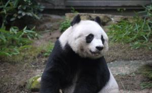 香港海洋公园:最长寿圈养大熊猫佳佳骸骨将赠与香港城市大学