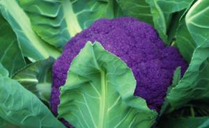 上海崇明黄紫花菜试种成功,2020年将建成20个博士农场