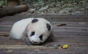 游客被曝在成都大熊猫基地用食物砸醒熊猫,林业局吁文明游园