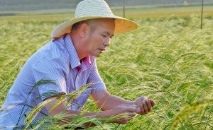 """可在14.8亿亩盐碱地上种的水稻:""""海水稻""""突破耕地约束"""