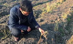 江苏一农科所培育的科研农作物多次被偷,因案值小无法立案