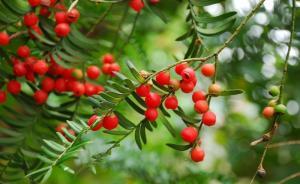 云南一男子砍伐1株国家一级保护珍稀植物红豆杉,被判刑一年