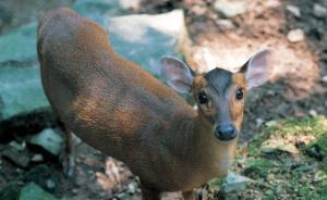 杭州动物园散养两只小鹿:白天爱待在虎山附近,会与游客合影