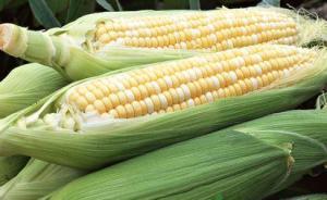 转基因作物种植国有望再添一例:古巴拟大规模推广转基因玉米