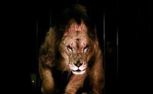 马戏团无证运输珍稀动物或判刑或无罪,学者呼吁出台司法解释