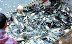 华南理工大学捕捞数千斤湖鱼免费给师生吃:冬季鱼易缺氧而死