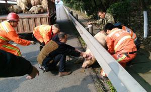 货车侧翻25头肥猪大闹高速,执法人员当临时猪倌除交通隐患