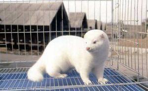 整个洋貂:吉林进口1.5万只丹麦种貂,对接重点扶贫项目