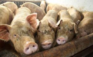 农业部:严厉打击无证屠宰、屠宰病死猪、注水猪等违法行为