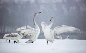 2月21日,在山西省平陆县三湾黄河湿地,几只天鹅在飞舞的雪花中展翅。 新华社 图 责任编辑:胡梦埼