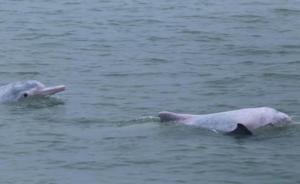 广西涠洲岛海豚死亡情况频发,官方将对非法捕捞加大执法力度