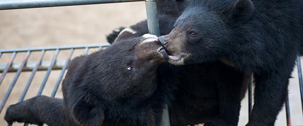 国研中心建议淘汰养熊业,被中药协专委会要求收回报告并道歉