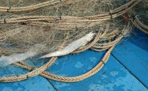 光明日报刊文:长江刀鱼走俏背后是环境污染和过度捕捞