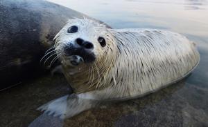 """首届""""水生野生动物保护摄影大赛""""征稿,4月主题为斑海豹"""