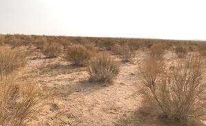"""阿拉善""""种绿""""记:沙漠3年种50万亩梭梭,希望与困境并存"""