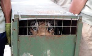 老虎凶猛?背后还有野生动物被用于商业牟利、遭虐待的乱象