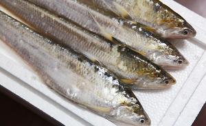 媒体:7800一斤天价,刀鱼之困是长江鱼类资源枯竭的缩影