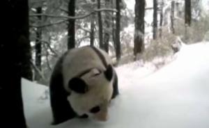 中国首只放归野外大熊猫被拍:野性十足