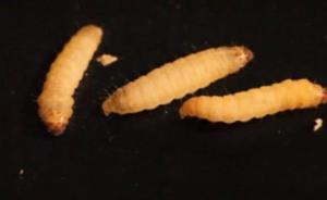 垃圾克星来了:科学家发现这种害虫的幼虫居然能吃塑料!