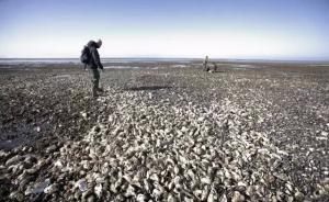 """丹麦海岸生蚝泛滥向中国""""求救"""",专家称""""舌尖解决""""可行"""