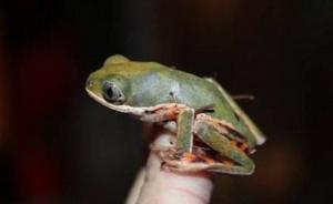 """北京从美国入境邮包中截获8只活体树蛙:申报为""""咖啡和茶"""""""