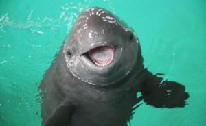 """深观察丨""""江豚保护升级"""":一场被事先张扬的行动计划"""
