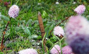 冬虫夏草为啥长在高原?中美学者眉头一皱,发现事情并不简单